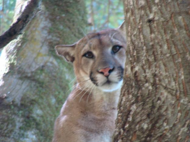 Scientists rely on the puma's instinct to escape predators—few though they may be—by running up a tree.  Photo courtesy Troy Collinsworth.