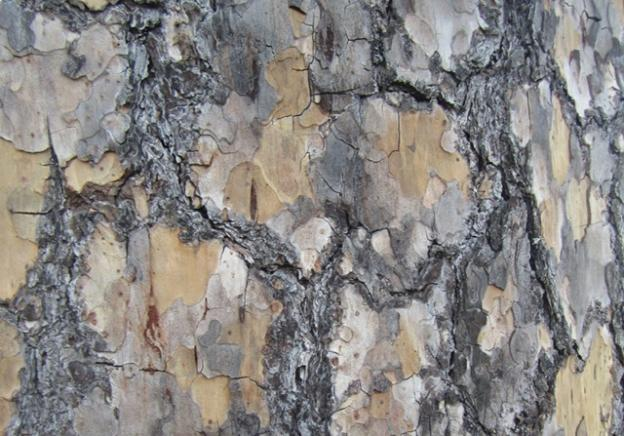 The jigsaw-puzzle bark of the ponderosa pine: a frequent sight at Henry Cowell and Quail Hollow, but otherwise seldom seen on the coast. Hilltromper photo.