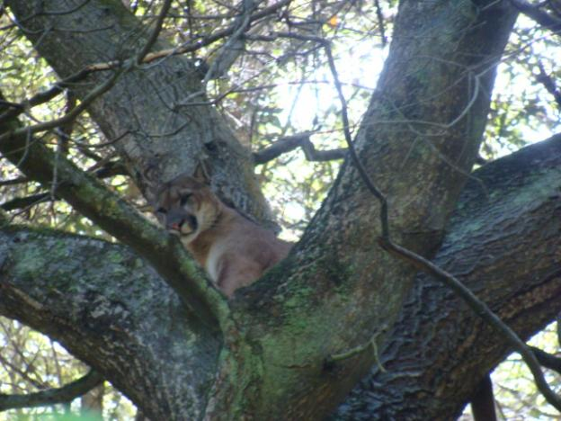 A mountain lion watches hounds and scientists from refuge in the treetops. Photo courtesy Troy Collinsworth.