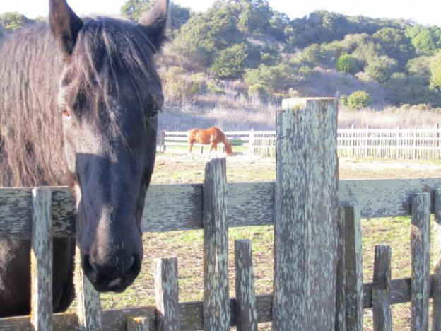 Rocky, one of the draft horses living at Wilder Ranch, comes in for a close look while Josh grazes on in the background. Photo credit: Hilltromper.