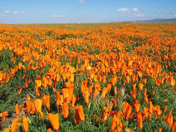 The golden poppies of Antelope Valley, site of the annual Poppy Festival (April 26-27). Photo by User:Vision/Creative Commons.
