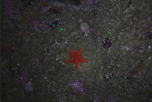 A sea star photographed just off the coast of Asilomar State Beach. USGS photo.