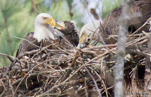 A bald eagle pair nurturing their chick in North Carolina. Photo by Bill Majoros on Flickr.