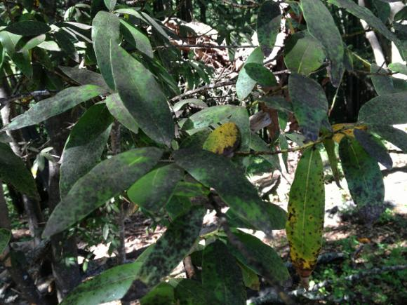 Bay tree with signs of carrying pathogen that causes sudden oak death. Photo by Erin Loury.