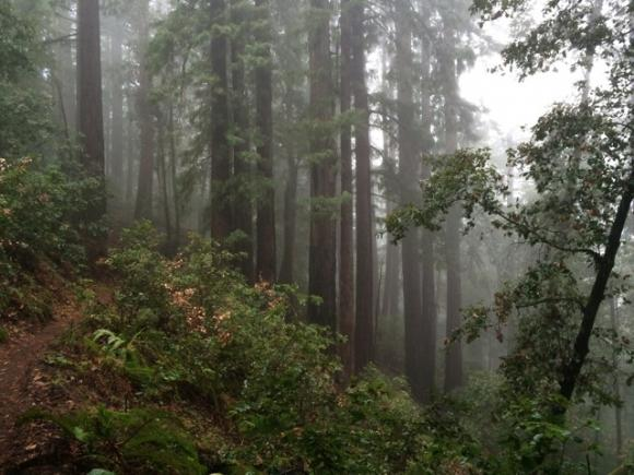 """Redwoods on the Brook Trail. Pescadero Creek does """"misty forest"""" very well."""