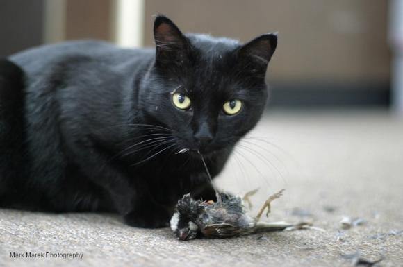 Black cat looks up from eating a bird on a carpet. Photo by Mark Marek.