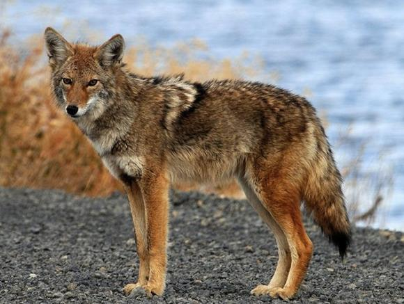 Coyotes have long been known to fish in streams and lakes. Beaches, not so much. USFWS photo.
