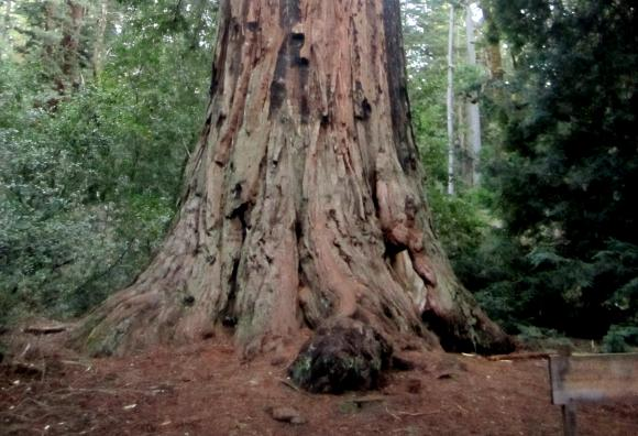 The Father of the Forest, a 2,000-year-old redwood tree, is just one of the stupendous sights on Big Basin Park's Redwood Trail. Hilltromper photo.