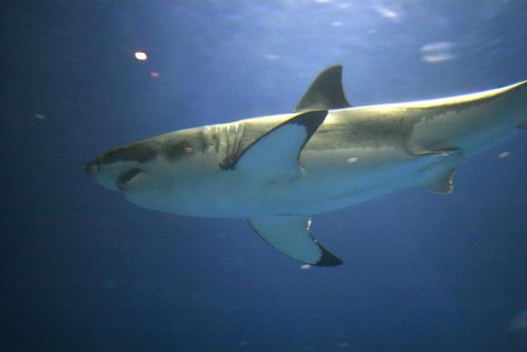 A great white shark cruises the tank at the Monterey Bay Aquarium. Photo by Brocken Inaglory/Creative Commons.