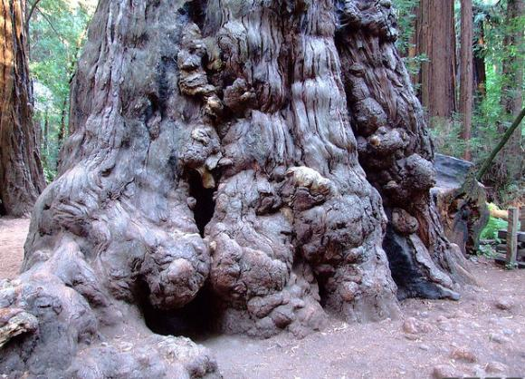 A huge redwood at Henry Cowell with burls—dense knots of wood created when the tree undergoes stress. Creative Commons photo.