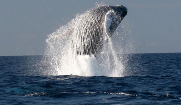 A humpback whale breaching near San Francisco. Photo courtesy of NOAA.
