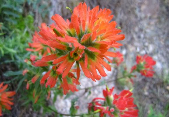 Indian paintbrush at Rancho del Oso in Big Basin State Park. Hilltromper photo.