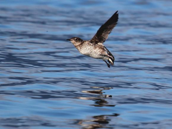 Marbled murrelets, small and plump seabirds with short necks, stubby tails, and webbed feet, nest silently in old-growth forests. Robin Corcoran, U.S. Fish and Wildlife Service