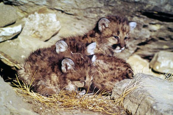 Mountain lion cubs. Genetic diversity is becoming a problem among puma populations near urban centers.