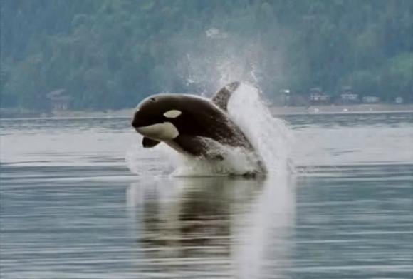 Orca porpoising (porpoise meaning to leap out of the water). Photo by Minette Layne/Creative Commons