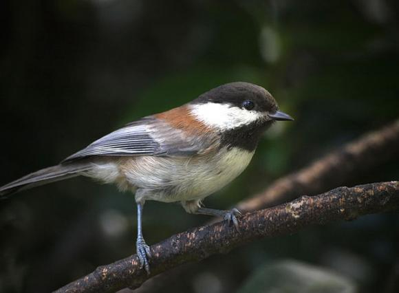 Chickadees are truth tellers in Indian mythology and knucklehead whisperers in modern California. Photo by Ingrid Taylar on Flickr.