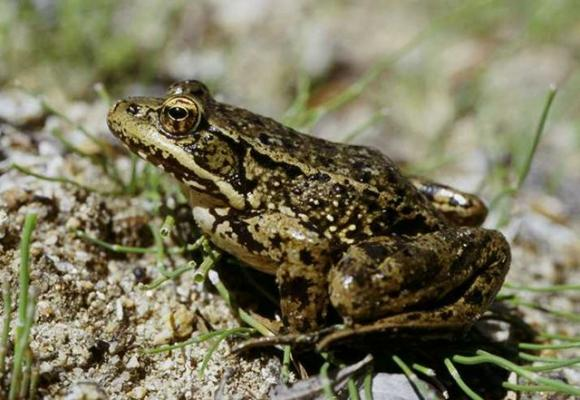 If it didn't taste so much like chicken, there might be a lot more red-legged frogs; 19th-century Californians nearly ate them into extinction. Photo by Pierre Fidenci on Creative Commons.