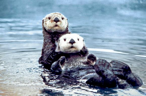 Sea otter pair photographed by Ed Bowlby/Creative Commons