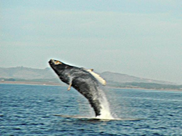 Juvenile humpback whale breaching. Photo by Hanae Armitage.