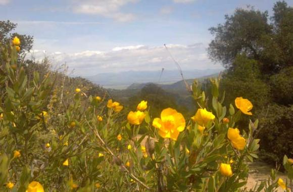 California Bush Poppies are abundant on Star Creek Ranch's sunny ridges.