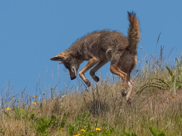 Coyotes and other local wildlife will get fat this year thanks to El Niño. Photo by Franco Folini on Flickr.