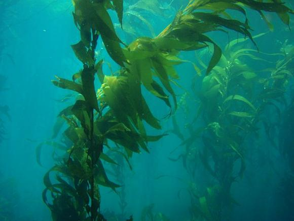 Giant kelp forest by Claire Fackler/NOAA.