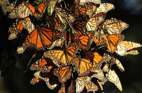 Natural Bridges State Beach will celebrate 'Welcome Back Monarch's Day' on Sunday, Oct. 12.