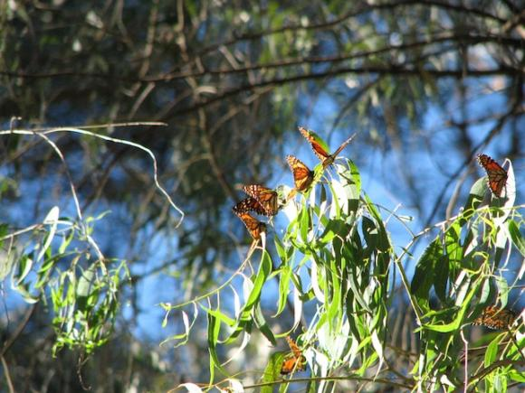A warm autumn sun shines on monarch butterflies overwintering at Natural Bridges State Beach in Santa Cruz. Photo by Alpha Geek on Flickr.
