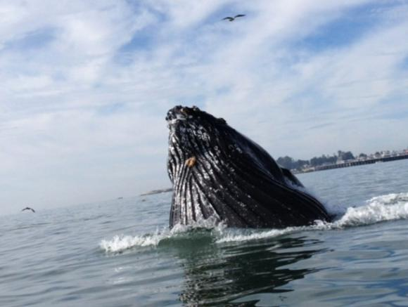 Humpback whales are crowding close to shore this summer in search of food.  Photo courtesy Surfrider Foundation/Amber Jones.