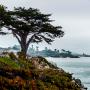 A beautiful cypress tree found along West Cliff Drive in Santa Cruz. Photo by Sarah Khosla.