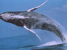 Scientists are unsure what drives humpback whales' exuberant displays.  NOAA photo.