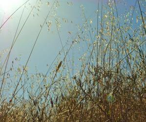 A remnant of coastal prairie, Arana Gulch has wild grasses galore. Photo by Garrett McAuliffe.