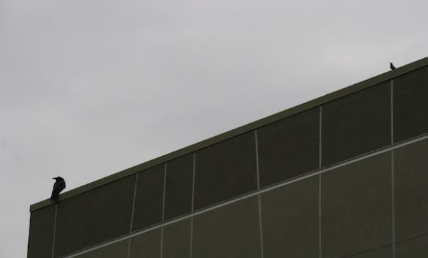 An American crow and brewer's blackbird perched on the school.