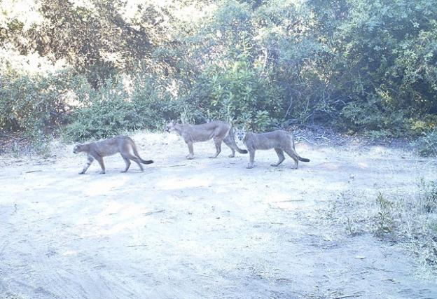 Three young mountain lions caught on surveillance camera at San Vicente Redwoods on July 31, 2013 at 9:06am. The Land Trust's Conservation Blueprint prioritizes the protection of wildlife habitat and mobility. Photo courtesy Land Trust.