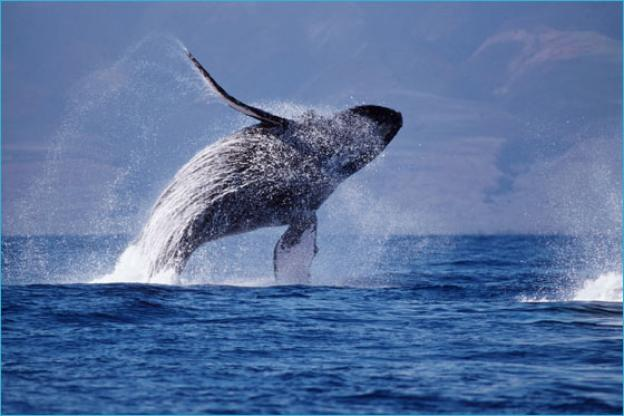 Humpbacks are the acrobats of the cetacean world. Photo by Doug Perrine.