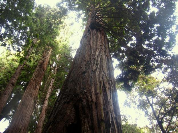 The majesty of coast redwoods is undeniable. Pictured here is the Advocate Tree, found in Forest of Nisene Marks State Park. It stands 253 feet tall and measures 39 feet in circumference. Hilltromper photo.