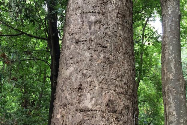 The rows of holes on this sycamore were created by sapsucker birds.  Hilltromper photo.
