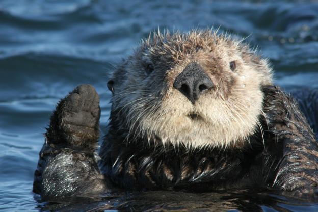 The world's cutest marine mammal.  Photo provided by Yohn Gideon.