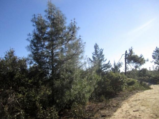 You know you're in the chaparral when you see these knobcone pines and it's really hot. Hilltromper photo.
