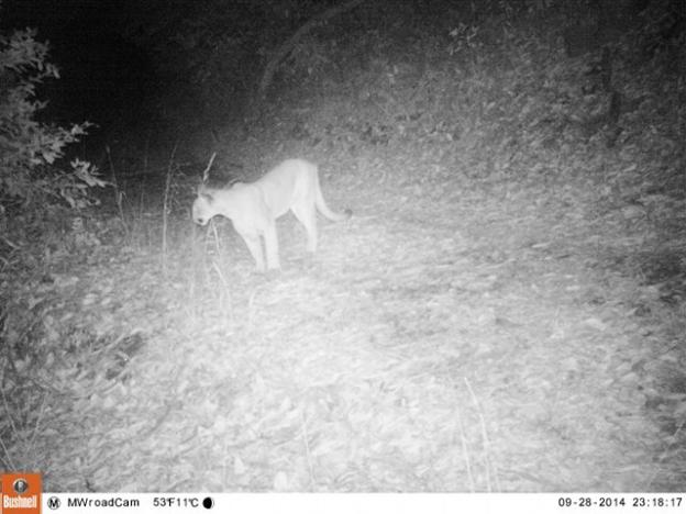 """The McDougal lion on Sept. 28 on the west side of Hwy 17, on the """"Marywood"""" parcel sought by Land Trust. He was fatally hit by a car on Hwy 17 on Nov. 6 near the proposed wildlife crossing site. Pathways photo."""