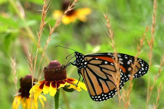 Monarch butterflies overwinter at Natural Bridges, leaving in late January or February. Photo credit: Clinton and Charles Robertson via Wikimedia Commons.