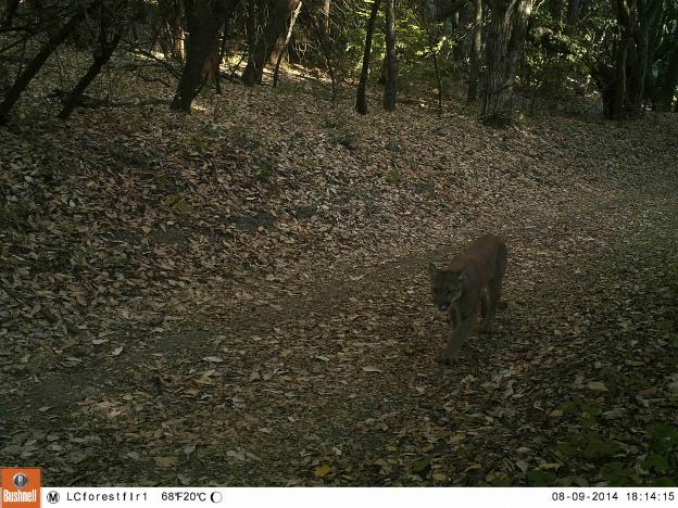 The McDougal lion on Aug. 9, a few minutes later, still on the east side of Hwy 17. Pathways photo.
