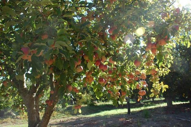 The Land Trust purchases easements on properties like the Pista Farmland apple orchard, which supplies fruit to Martinelli's, to limit sprawl while keeping working lands in production. Photo courtesy Land Trust.