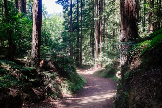 The walk down to Big Rock Hole, on Rincon Fire Road, is shaded by tall redwoods. Photo by Eric Ressler.