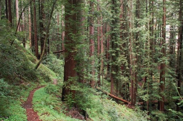 The  San Vicente Redwoods (formerly Cemex Redwoods)—the biggest piece of unprotected redwood forest in the Santa Cruz Mountains until its purchase in 2011. Photo courtesy Land Trust.
