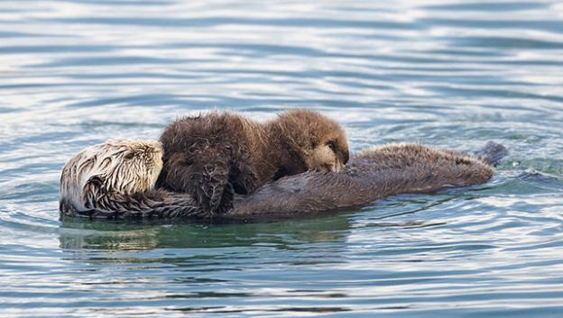 A sea otter nurses a pup. Photo by Mike Baird/Creative Commons.