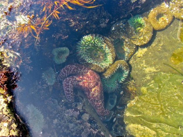 A sea star gets cozy next to some sea anemones in an intertidal pool.
