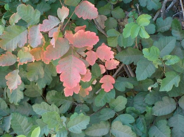 The color turns to pink in late summer. Sometimes poison oak looks matte rather than glossy, as in this image. Photo by Joe Decruyenaere/Creative Commons.