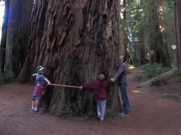 3. Your local coast redwood tree can grow to 300 feet or more—the tallest tree on Earth. (More below.) Photo by Margie Ryan.