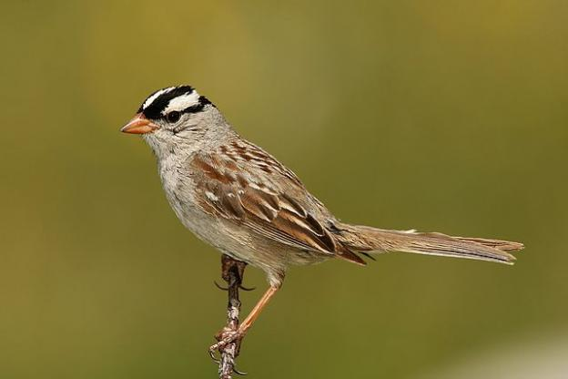 "White-crowned sparrows ""speak"" dialects—the songs they learn have localized attributes.  Photo by Wolfgang Wander/Creative Commons."